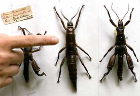 AN AUSTRALIAN SCIENTIST POINTS TO THE LORD HOWE ISLAND STICK INSECT SPECIMEN AT THE AUSTRALIAN MUSEUM IN SYDNEY