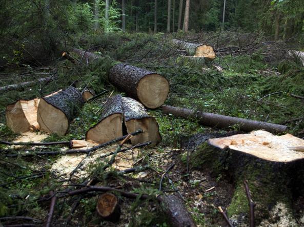 Disboscamento foresta di Bialowieza_02